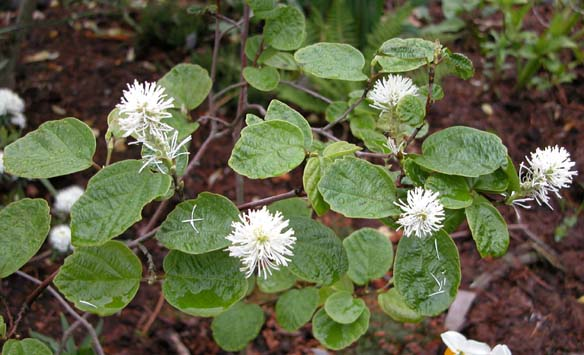Forthergilla major 1